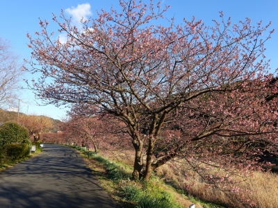 南伊豆 青野川沿いの河津桜