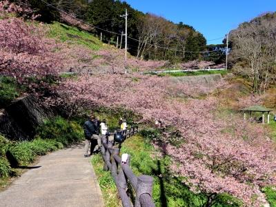 佐久間ダム公園の頼朝桜