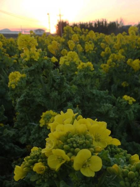 菜の花05