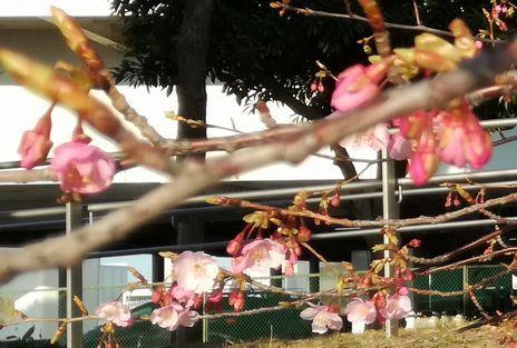 開花の発表があるレベルの咲き方