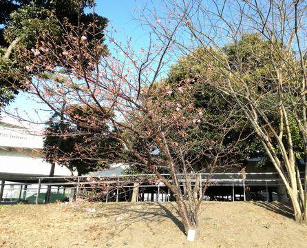 台場の河津桜