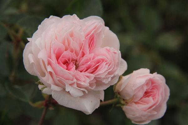 20161108ピンクのバラ