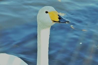 小美玉・池花池の白鳥