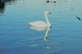 小美玉市池花池の白鳥