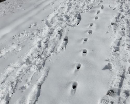 キツネの足跡 VC161125