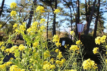 玄関菜の花2