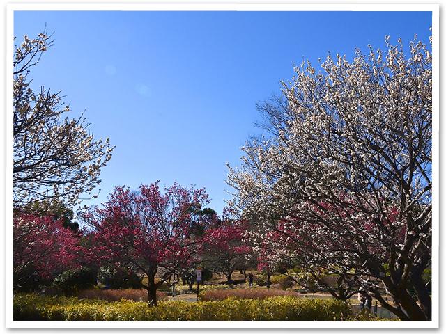 観梅☆昭和記念公園