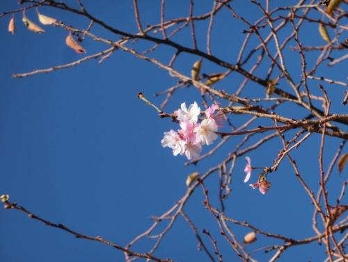 10月桜 2