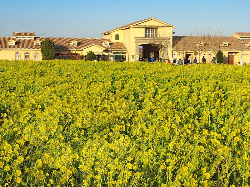 170122ソレイユの丘菜の花畑1