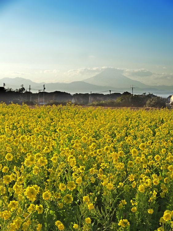 170122ソレイユの丘菜の花畑2