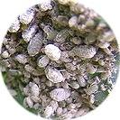 brassica_oleracea_italica001.jpg