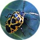 brassica_oleracea_italica004.jpg