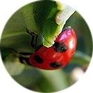 brassica_oleracea_italica006.jpg