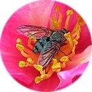 camellia_sasanqua005.jpg