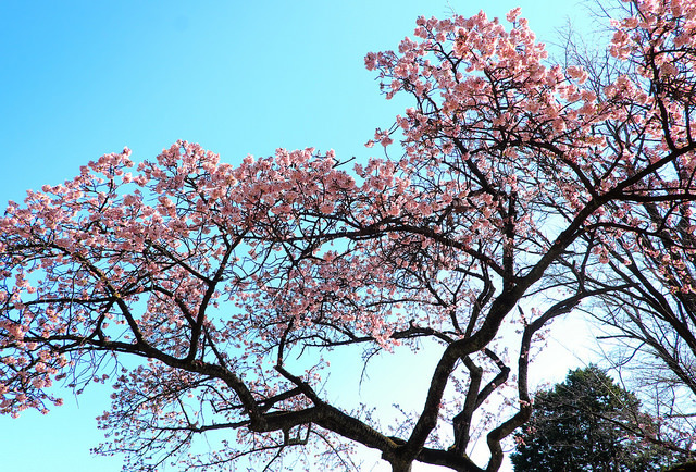 201701小石川植物園004
