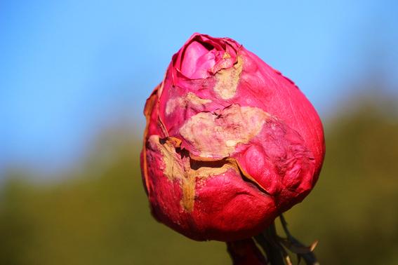 つぼみのまま枯れるバラ