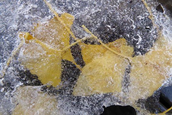 氷イチョウ