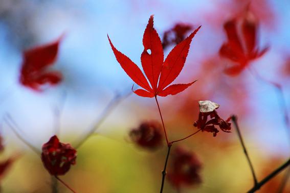 枯れた紅葉1