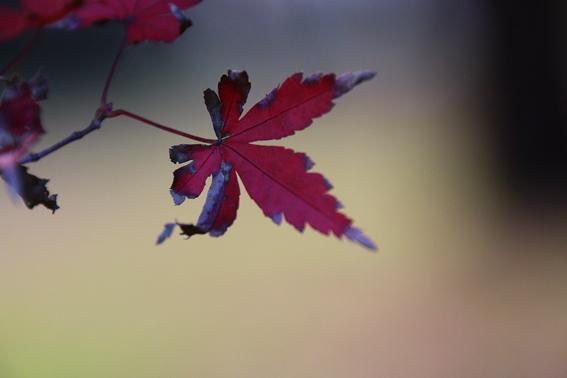 枯れた紅葉4