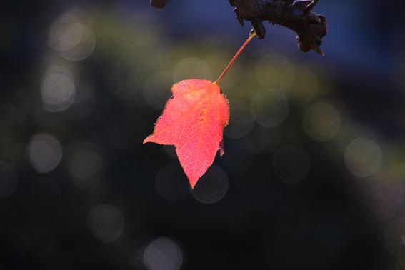 季節外れの紅葉1