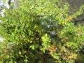 菊ですA-2