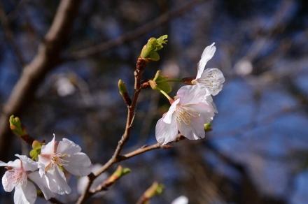 衣張山の玉縄桜