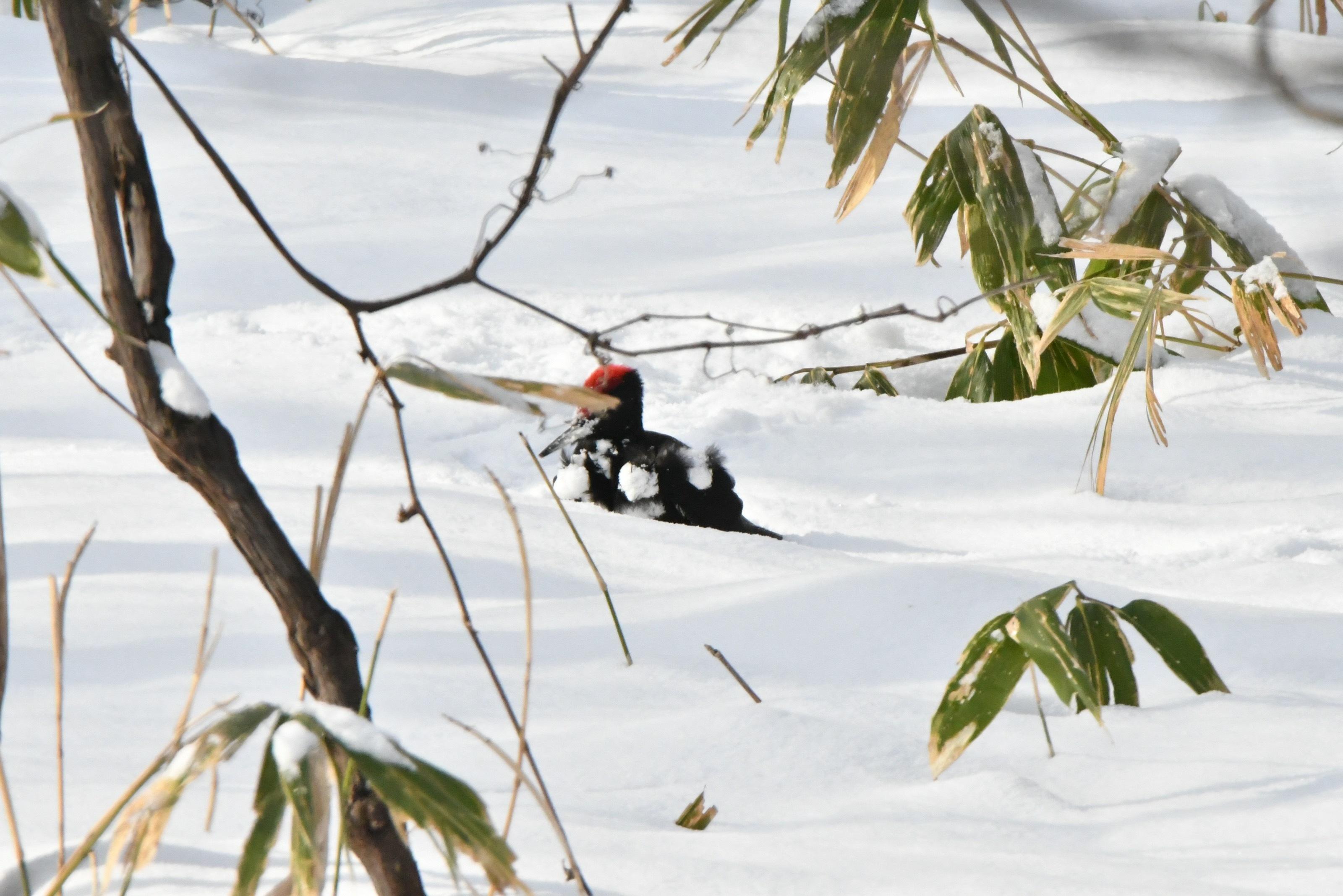 雪玉を胸につけるクマゲラ雄2