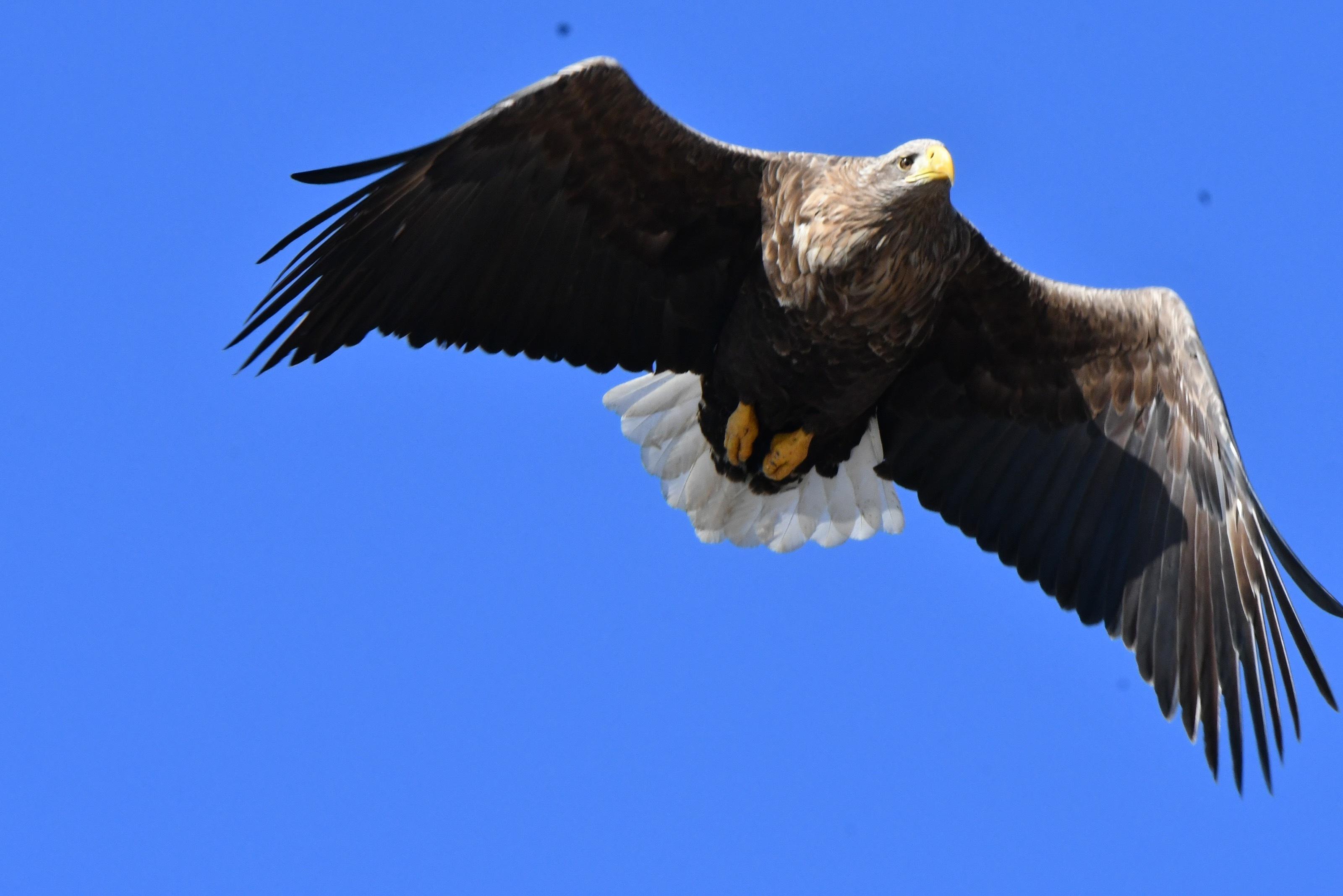 オジロワシ 成鳥