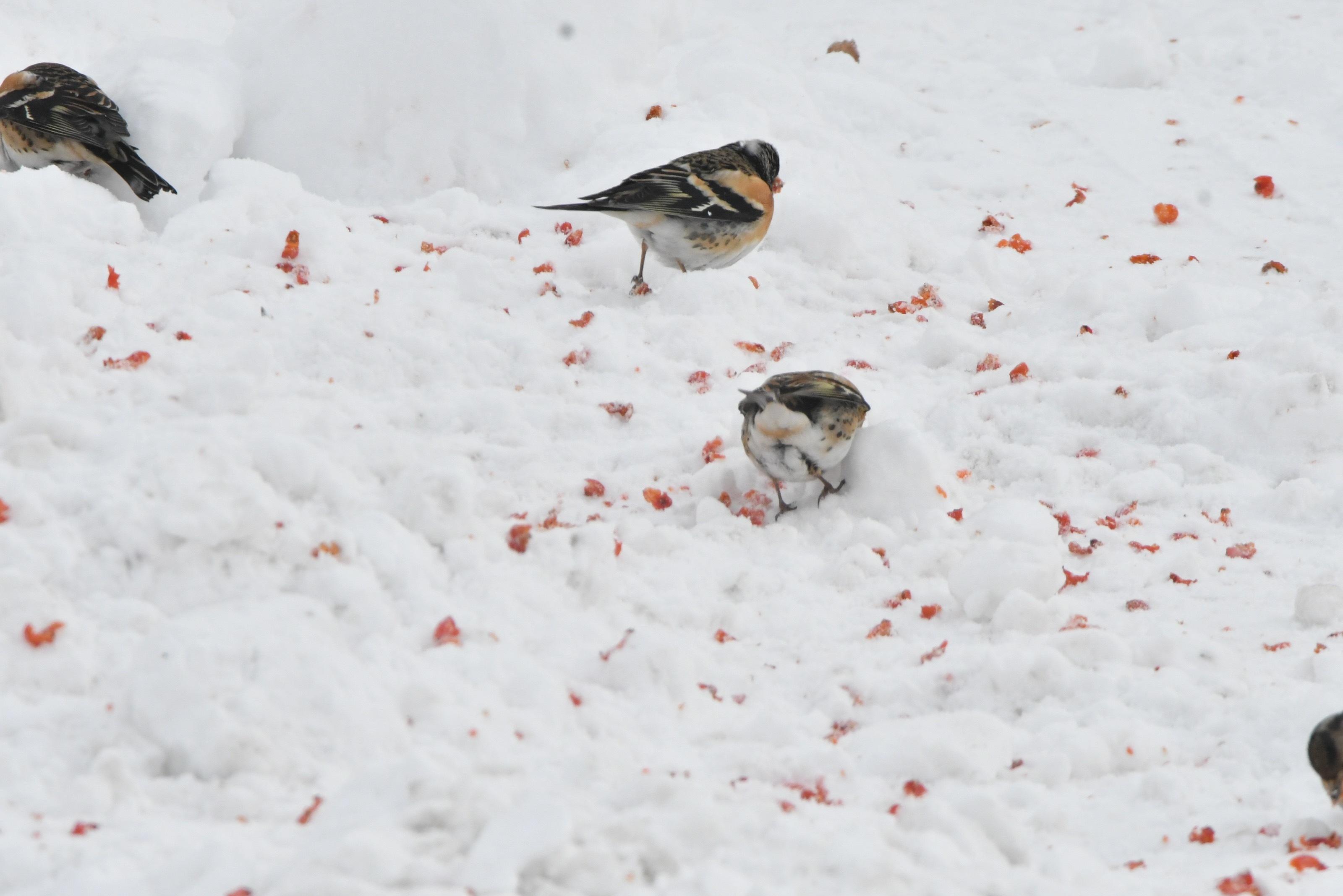 雪面地面採餌するアトリ