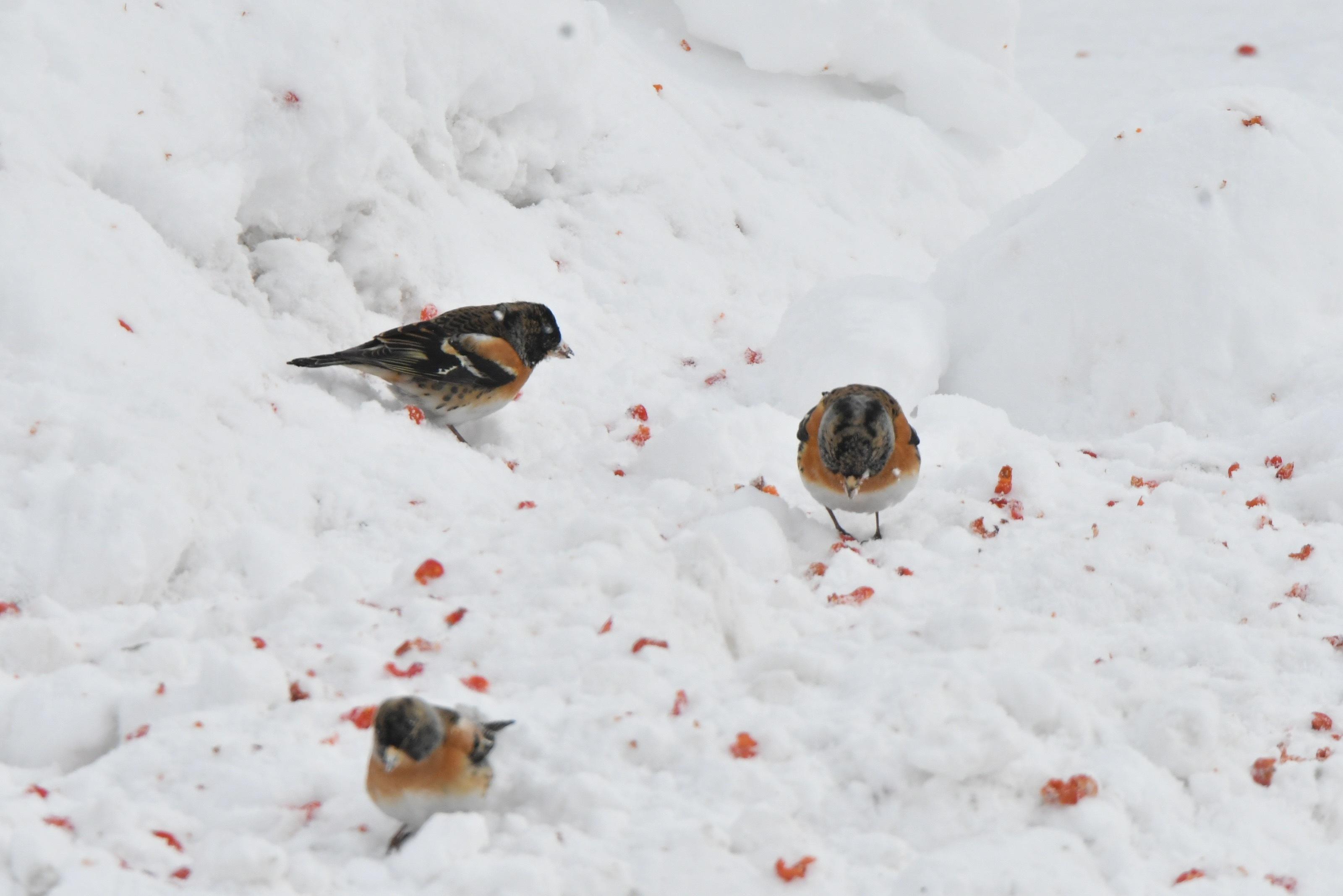 雪面地面採餌するアトリ1