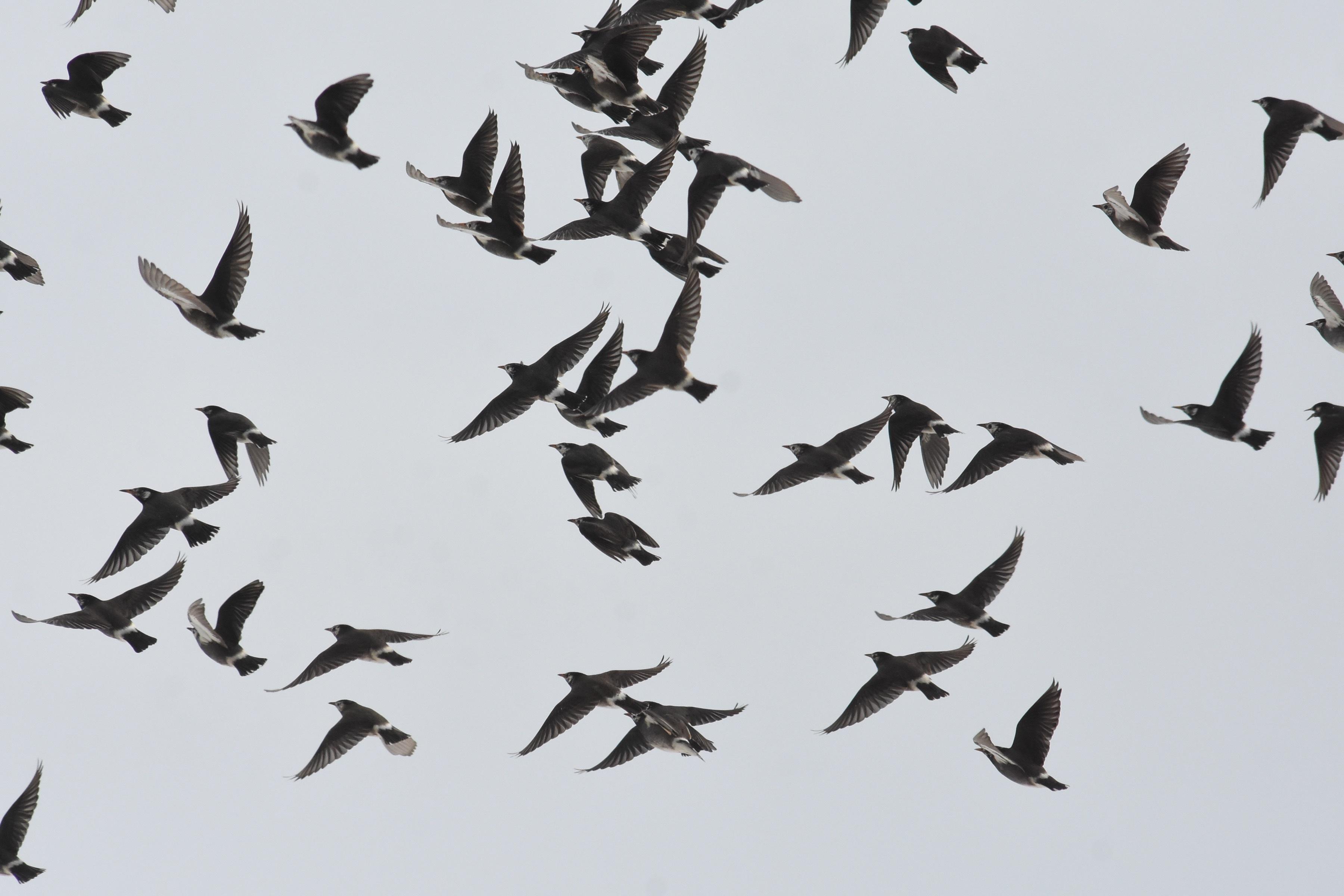 ムクドリ 越冬群