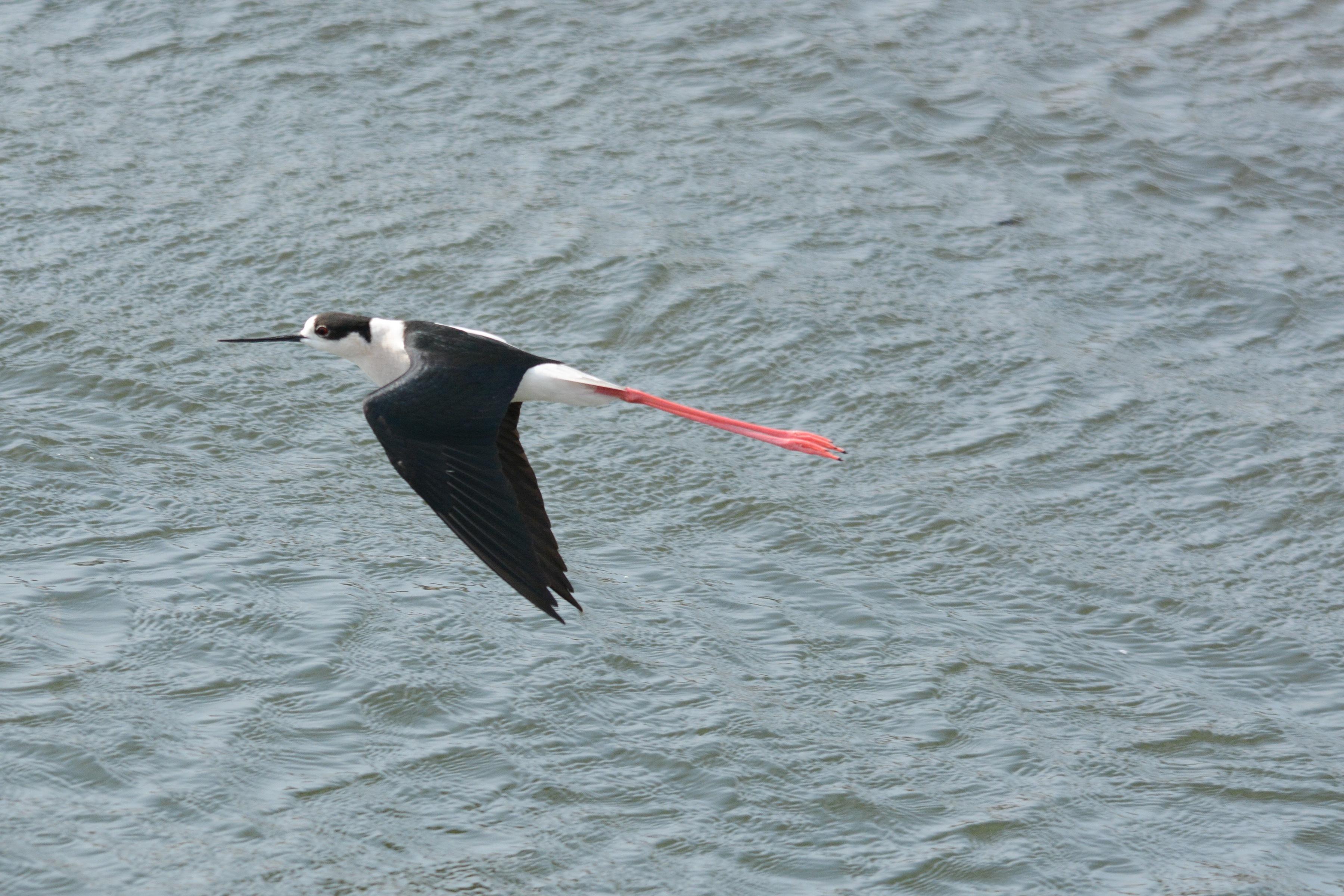 セイタカシギ 飛翔