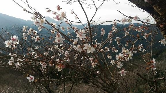 2016-11-30冬桜 桜山公園_