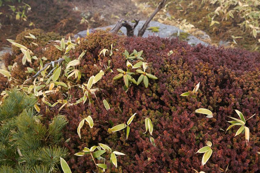 20161120五葉山山頂付近の植物2