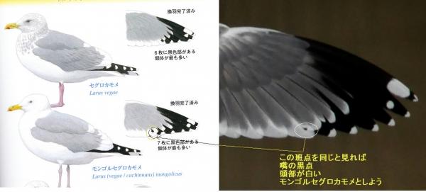モンゴルセグロカモメ
