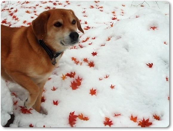 モミジと雪とらく
