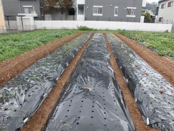 玉ねぎ植え雨前に