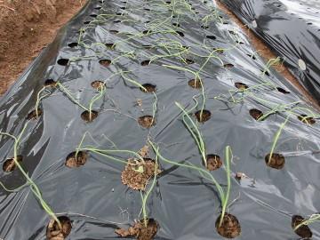 玉ねぎ植え雨前に2