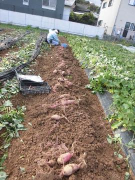 さつま芋掘り後半5