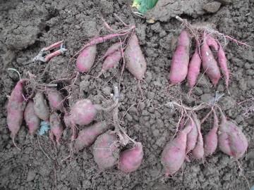 さつま芋掘り後半6