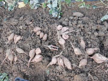 さつま芋掘り後半続き