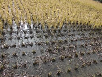 再生稲が減り続く