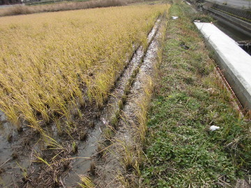 再生稲が減り続く2