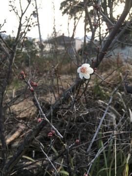 梅の花と菜の花と