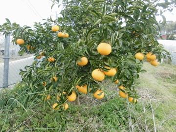 柑橘いろいろ収穫保存2