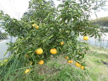 柑橘いろいろ収穫保存3