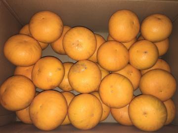 柑橘いろいろ収穫保存4
