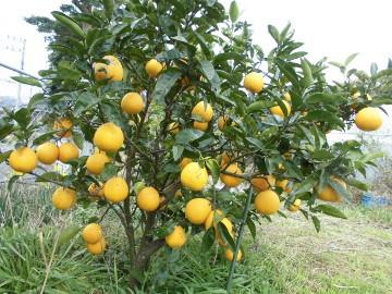 柑橘いろいろ収穫保存5
