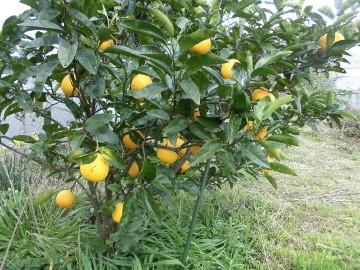 柑橘いろいろ収穫保存6