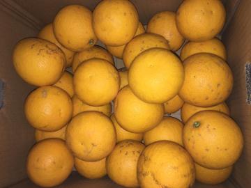 柑橘いろいろ収穫保存7
